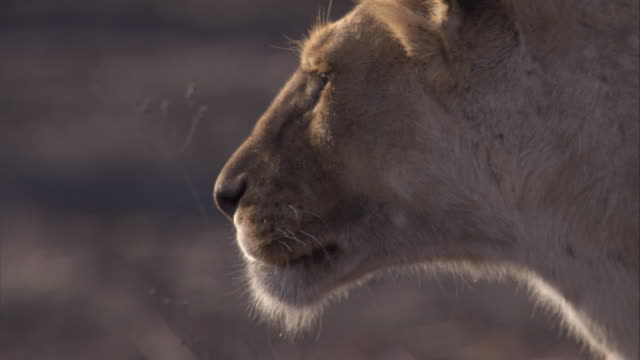 vídeos de stock e filmes b-roll de a lioness looks out over the savannah in the serengeti. available in hd. - leão