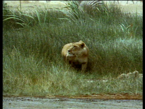 lioness lurks stalking and reading to pounce waterhole in foreground - 1984 stock videos & royalty-free footage