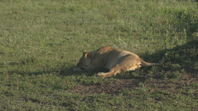 lioness lying down, big belly - wiese stock videos & royalty-free footage