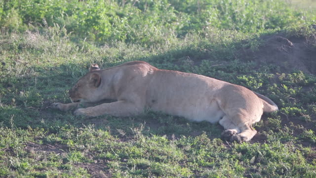 lioness lying down, head down wider - wiese stock videos & royalty-free footage