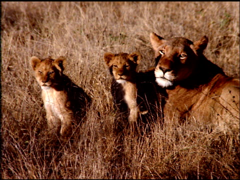 lioness lying in bush land with two cubs sitting and staring at camera, botswana - postura video stock e b–roll