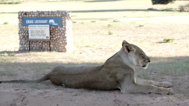 vídeos y material grabado en eventos de stock de lioness lying in shade close to sign, kgalagadi transfrontier park, south africa - reserva natural parque nacional