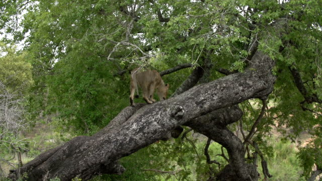 A lioness moves to rest in the higher branches of a large tree, Kruger National Park, South Africa