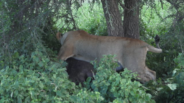 lioness moving dead wildebeest may flies - wiese stock videos & royalty-free footage