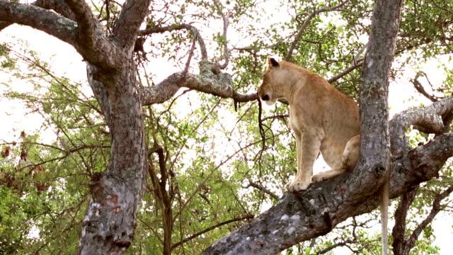 Lioness On Tree in Kruger Wildlife Reserve