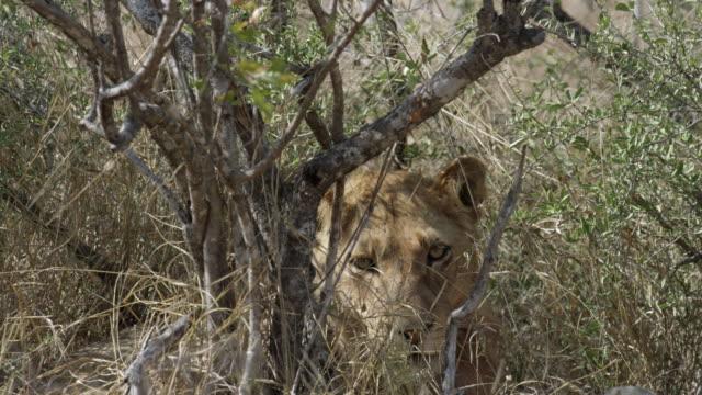vidéos et rushes de lioness peers through grass, - lion