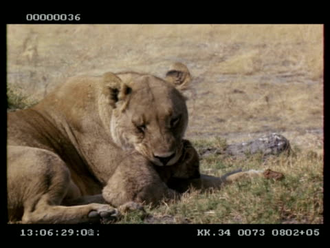 vidéos et rushes de ms lioness picking up her cub and walking with it in her mouth - cou d'animal