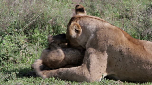 lioness playing and cleaning her cubs