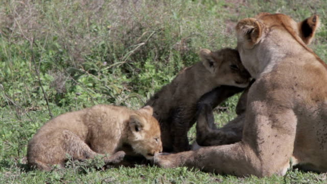 lioness playing with cubs closeup