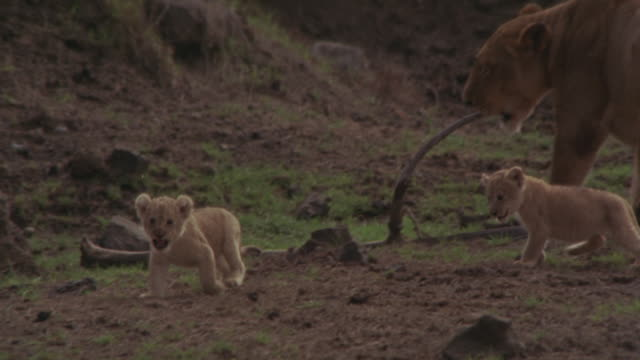 A lioness playing with her cubs on a grassy land.