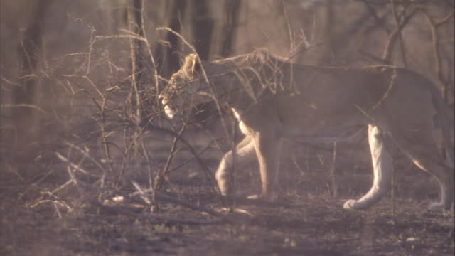 A lioness prowls across the dry, burnt savanna. Available in HD.