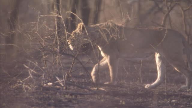 vídeos de stock e filmes b-roll de a lioness prowls across the dry, burnt savanna. available in hd. - mamífero