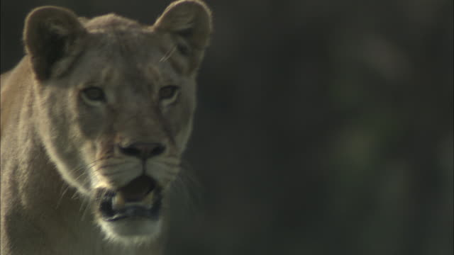 a lioness prowls through its habitat. - female animal stock videos & royalty-free footage