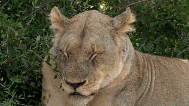 Lioness resting and panting heavily in the Kruger National Park, South Africa