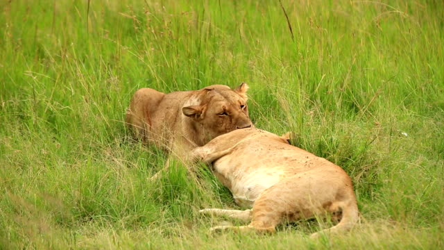 Lioness resting with cubs - Loving