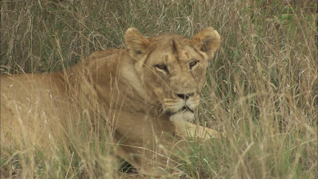 A lioness rests in long grass.