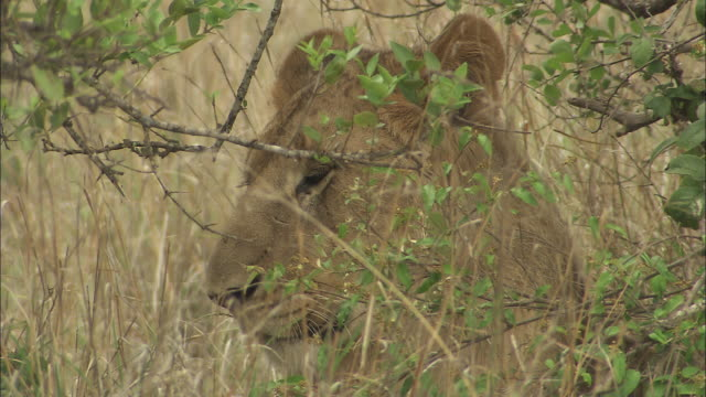 vídeos y material grabado en eventos de stock de a lioness rests in long grass.  - hierba familia de la hierba