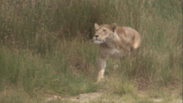 A lioness runs out of a clump of tall grass. Available in HD.