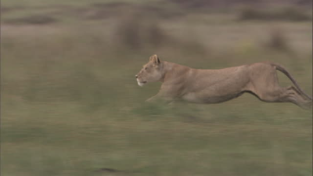 Lioness runs over savannah and brings down a zebra foal. Available in HD.