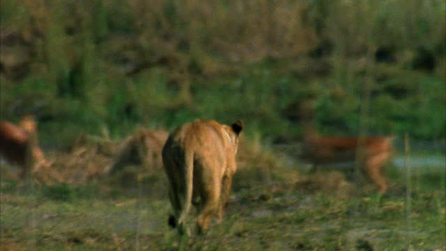 A lioness rushes a herd of impalas.