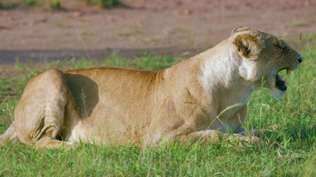 lioness sat in grass maasai mara, kenya, africa - audio available stock videos & royalty-free footage
