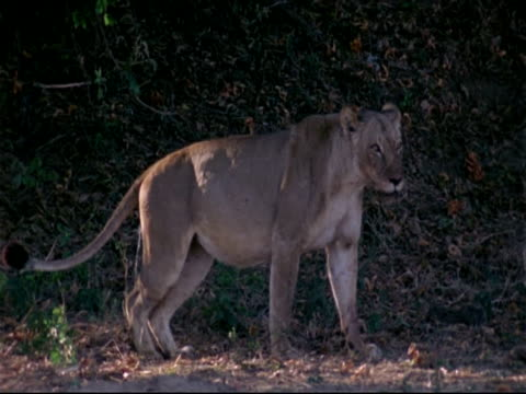 MS Lioness scraping feet on ground as urinating, side view, Mana Pools, Zimbabwe
