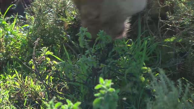 a lioness scratching the grass in serengeti national park, tanzania - tierische nase stock-videos und b-roll-filmmaterial