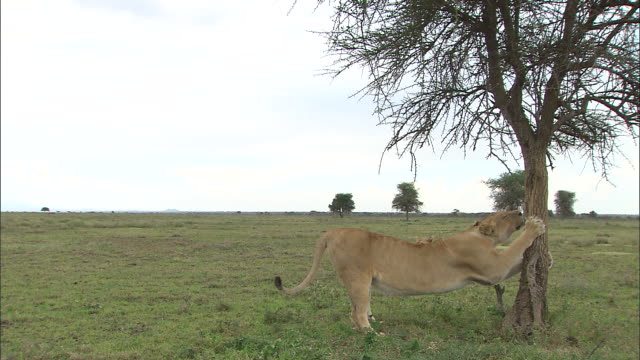 A lioness scratching the wood at Serengeti National Park, Tanzania