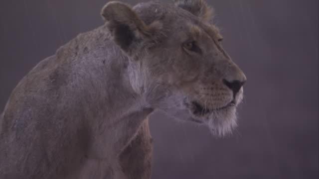 vídeos y material grabado en eventos de stock de a lioness shakes her head on a rainy day in the serengeti of tanzania. available in hd. - felino grande
