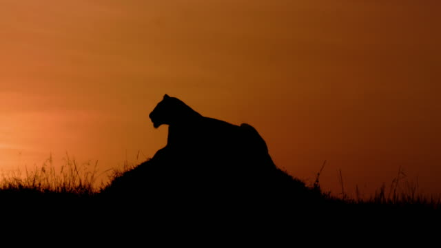 lioness silhouette maasai mara, kenya, africa - africa stock videos & royalty-free footage