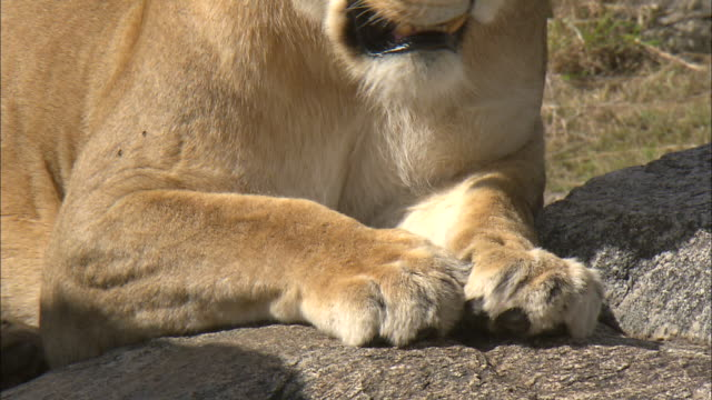 a lioness sitting and lioness paws on the rock at serengeti national park, tanzania - ライオン点の映像素材/bロール