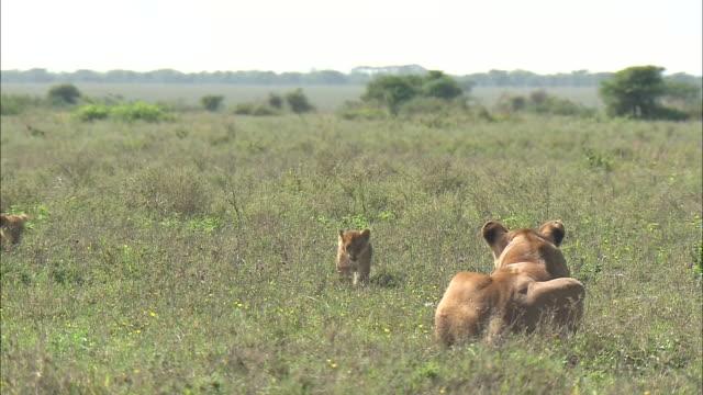 a lioness sitting down and lion cubs running on the grass in serengeti national park, tanzania - kleine gruppe von tieren stock-videos und b-roll-filmmaterial