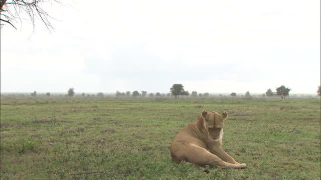 vídeos y material grabado en eventos de stock de a lioness sitting down on the grass at serengeti national park, tanzania - de cara al suelo