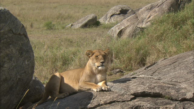 a lioness sitting down on the rock at serengeti national park, tanzania - carnivora stock videos and b-roll footage