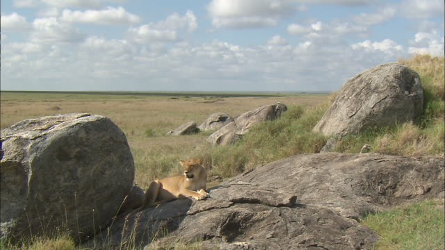 a lioness sitting down on the rock at serengeti national park, tanzania - stone material stock videos & royalty-free footage