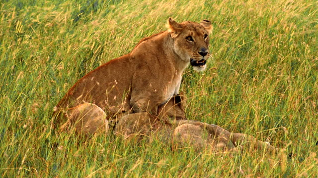 ms lioness sitting in gin long grass with three adolescent cubs / masai mara, kenya - medium group of animals stock videos & royalty-free footage