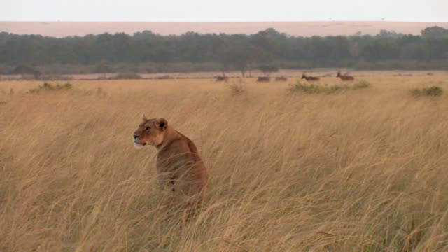 MS, Lioness (Panthera leo) sitting in grassy field, topi (Damaliscus lunatus) in distance, Masai Mara, Kenya