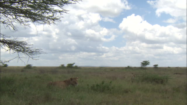 a lioness sitting on the grass at serengeti national park, tanzania - carnivora stock videos and b-roll footage