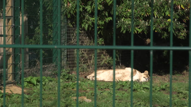 A lioness sleeps in the sunshine in it's zoo enclosure.
