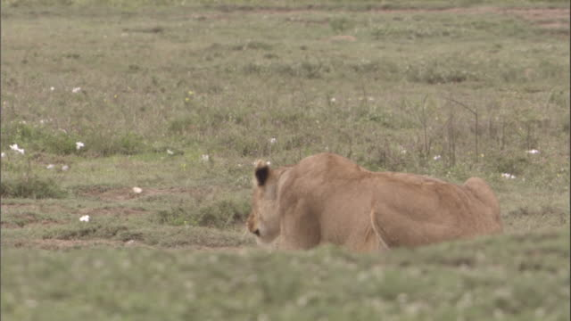 A lioness slowly stalks across the savannah in the Serengeti National Park. Available in HD.