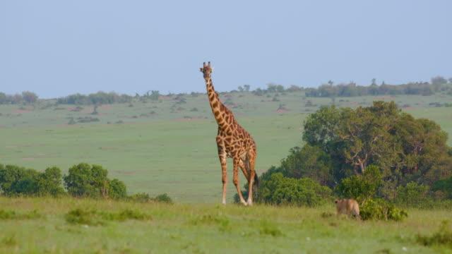lioness stalking masai giraffe, maasai mara, kenya, africa - giraffe stock videos & royalty-free footage