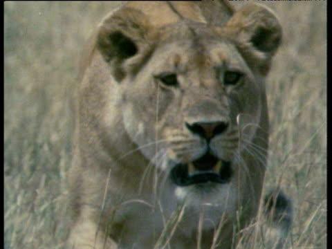 Lioness stalking to camera through grass