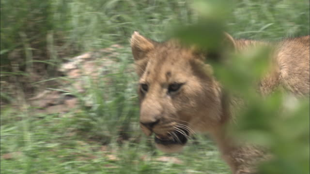 a lioness stalks through green grass as a young lion stays behind. - 肉食哺乳動物の子点の映像素材/bロール