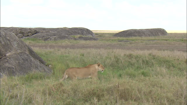 a lioness standing on the grass at serengeti national park, tanzania - carnivora stock videos and b-roll footage