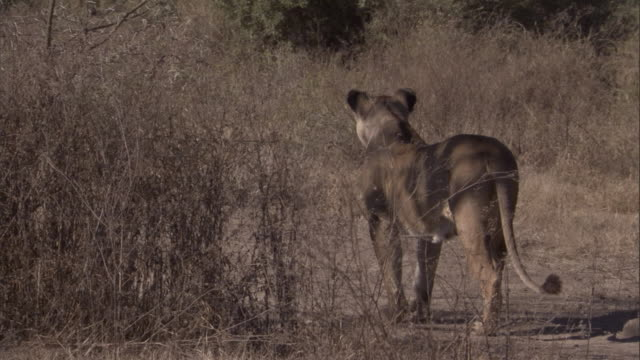 a lioness stands alert on the savanna. available in hd. - stealth stock videos and b-roll footage