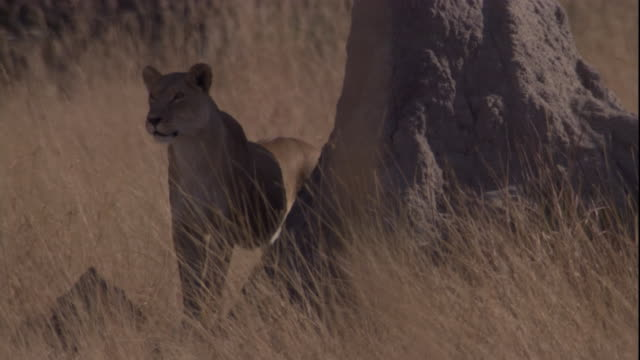 vídeos y material grabado en eventos de stock de a lioness stands next to a tree and watches. available in hd. - delta de okavango
