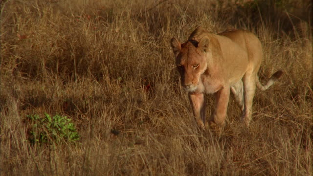 vídeos y material grabado en eventos de stock de a lioness strides across a savanna. available in hd. - paso largo