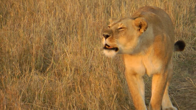lioness - female animal stock videos & royalty-free footage