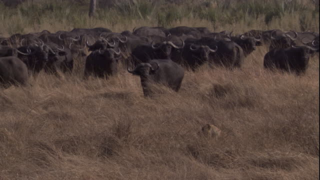 vídeos de stock e filmes b-roll de a lioness waits in long grass near a herd of cape buffaloes and then trots away. available in hd. - búfalo africano