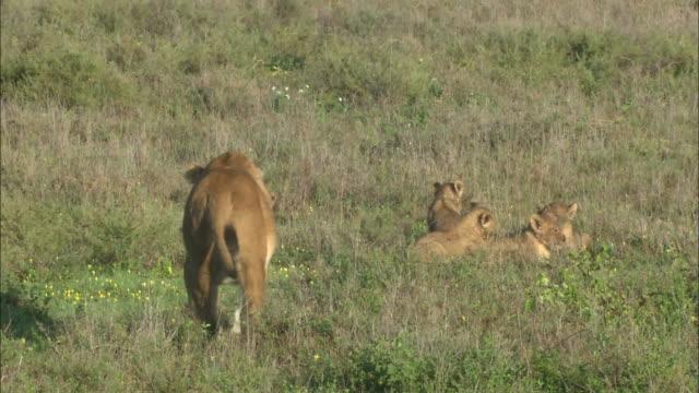 a lioness walking and lion cubs on the grass in serengeti national park, tanzania - kleine gruppe von tieren stock-videos und b-roll-filmmaterial